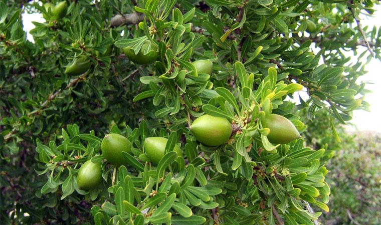 Fruto argán